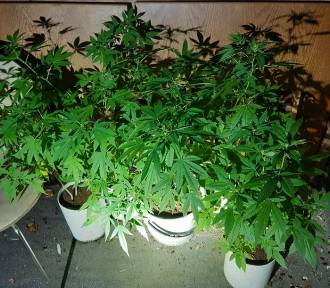 Bardzo ładne kwiatki - na balkonie uprawiał marihuanę [ZDJĘCIA]