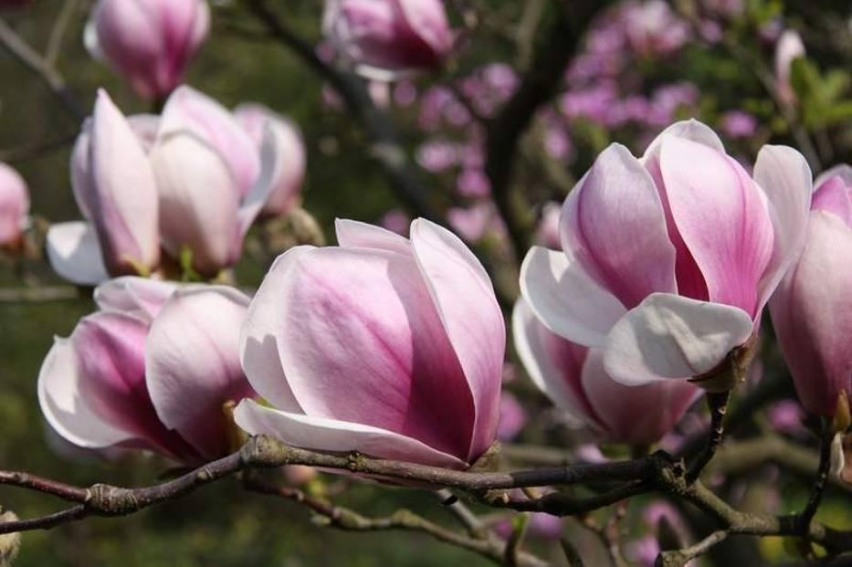 magnolien schneiden magnolien schneiden mein sch ner. Black Bedroom Furniture Sets. Home Design Ideas