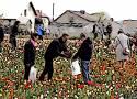 """W tym roku w Chrzypsku Wielkim nie odbędą się Międzynarodowe Targi Tulipanów i nie zostanie """"ochrzczona"""" nowa odmiana"""