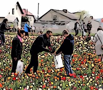 W tym roku nie będzie Międzynarodowych Targów Tulipanów