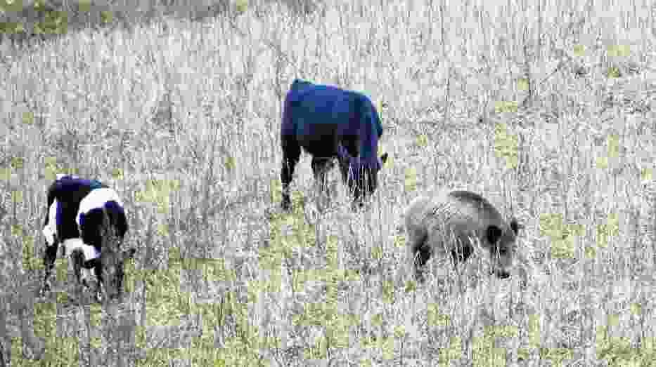 Kilka lat temu sensację wzbudził dzik z okolic Szczecinka, który zaprzyjaźnił się ze stadem krów i pasł się z nimi na łące pod lasem