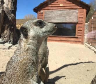 Wiosna w ZOO Safari w Borysewie. Co porabiają zwierzęta? [ZDJĘCIA]