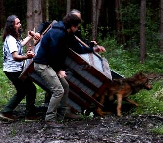 Uratowany z wypadku drogowego wilk Wolfik wrócił na wolność [ZDJĘCIA]