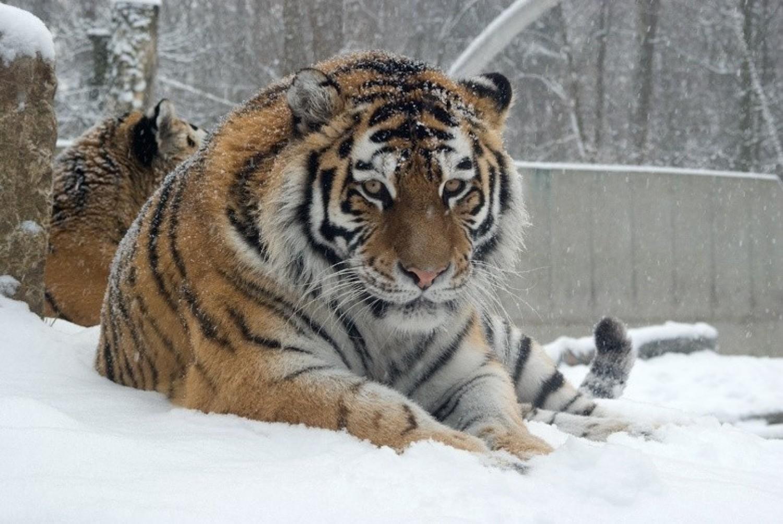 Tygrys uciekł raz w Warszawie