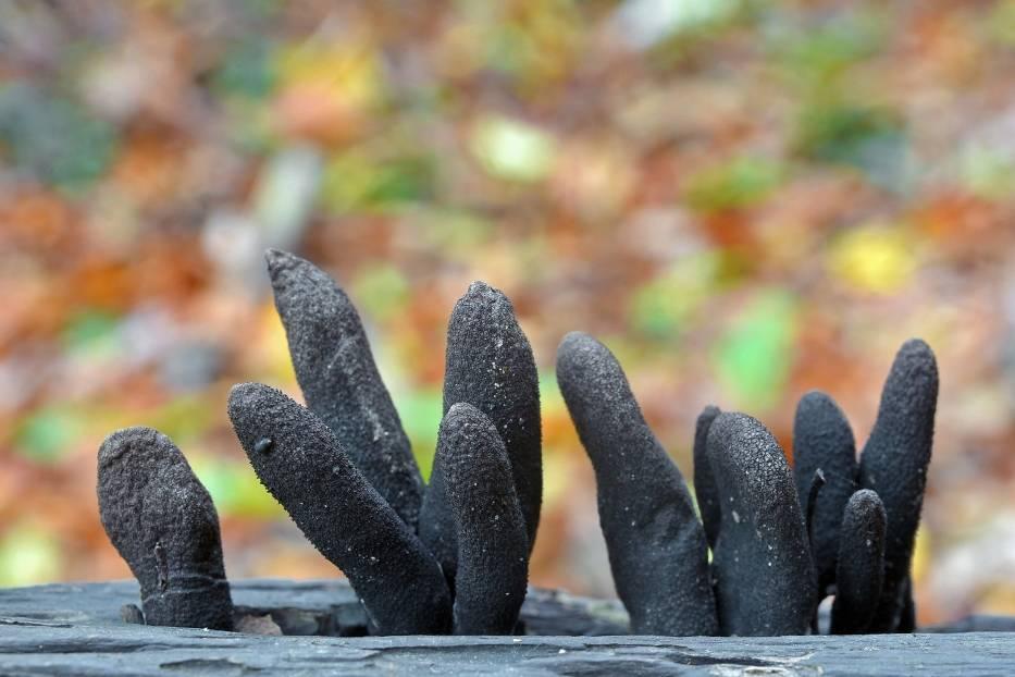Próchnilec maczugowaty (Xylaria polymorpha)