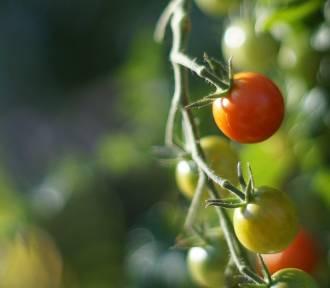 Pomidory warto jeść codziennie. Wiesz dlaczego?