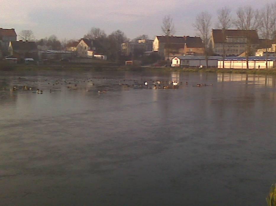 Łabędzie na lodzie wśród kaczek krzyżówek - ujęcie pierwsze