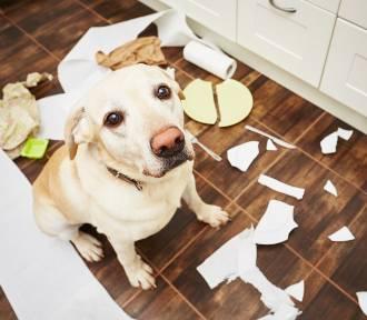 Oto najbardziej nieposłuszne rasy psów