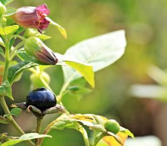 Tych owoców nie zbieraj! Trujące owoce z lasu i ogrodu