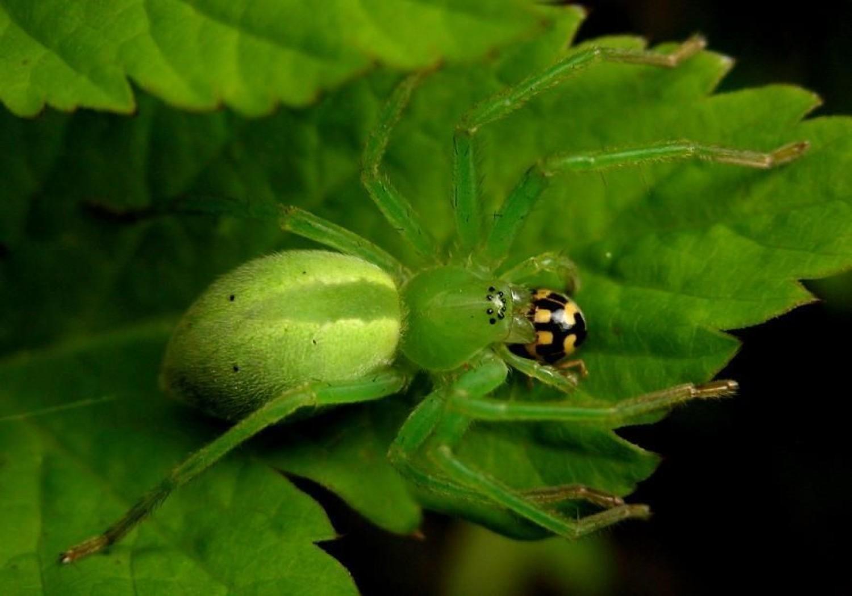 Wygląda niepozornie, ale spotkanie z nim może być bolesne. Ten tropikalny pająk żyje w Polsce