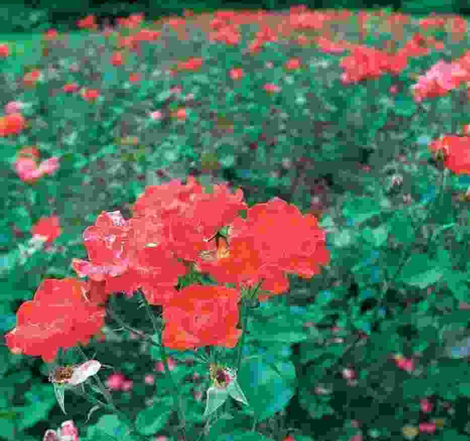 W rosarium właśnie kwitnie 280 odmian nowych róż