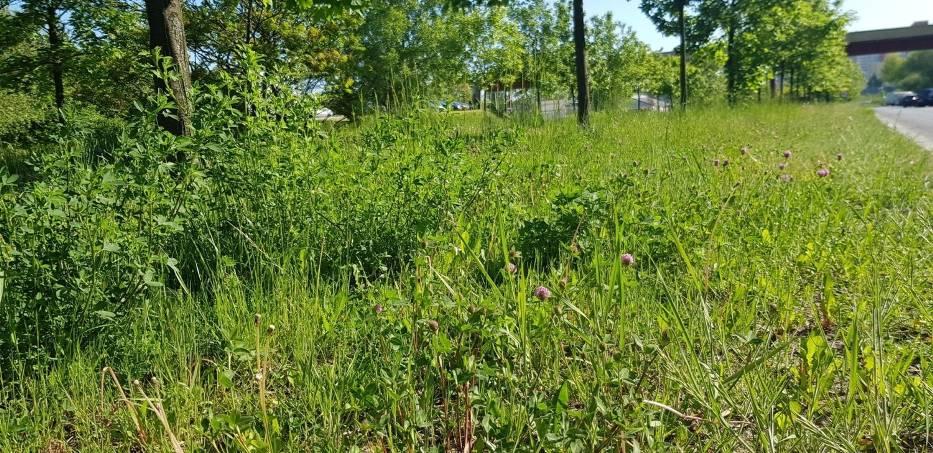W Dąbrowie Górniczej nie wszystkie trawniki będą koszone Zobacz kolejne zdjęcia/plansze. Przesuwaj zdjęcia w prawo - naciśnij strzałkę lub przycisk NASTĘPNE