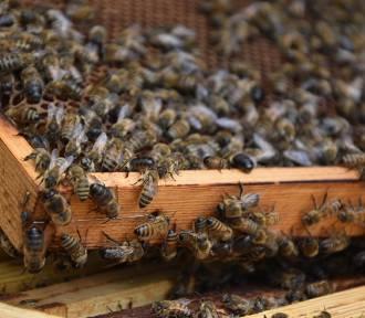 Wielki Dzień Pszczół [ZDJĘCIA]