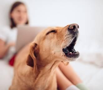 Psy, które nie szczekają: oto lista najspokojniejszych ras