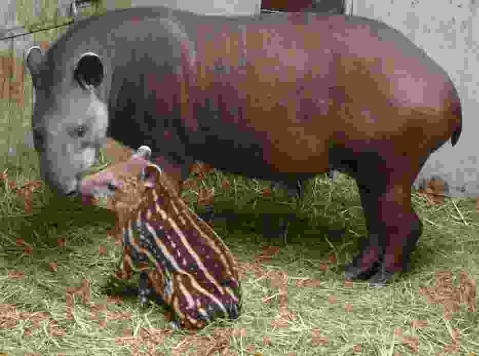 Tapiry w Poznaniu
