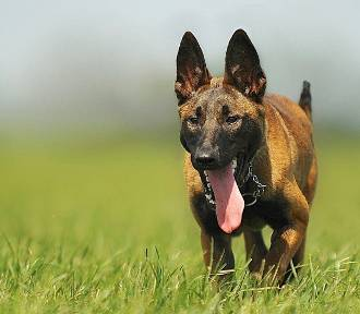 Na posiadanie takich ras psów trzeba mieć pozwolenie. Lista może zaskakiwać