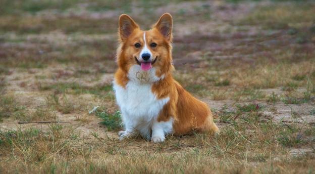 Czy rozpoznasz rasę psa na zdjęciu? To quiz o Burkach dużych i małych! QUIZ
