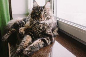 Inteligentna i żywiołowa rasa Maine Coon, według legendy powstała z skrzyżowania kota domowego z...