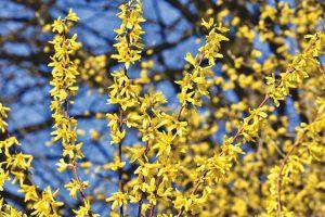 Kwitną na żółto bardzo wczesną wiosną. Można z nich tworzyć żywopłoty. Są to: